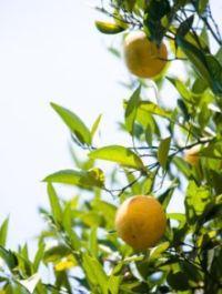 sinefrin, gorka naranca